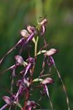 Himantoglossum caprinum subspecies rumelicum Royalty Free Stock Image