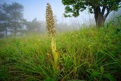 Himantoglossum hircinum,蜥蜴兰花,绽放野生植物细节,耶拿,德国 自然在欧洲 免版税库存图片