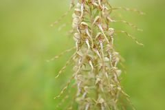 Himantoglossum hircinum, Lizard Orchid, detail of bloom wild plants, Jena, Germany. Nature in Europe. Detail of flower Royalty Free Stock Image