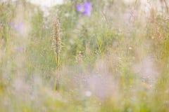 Himantoglossumhircinum, ödlaorkidé, detalj av lösa växter för blom, Jena, Tyskland Natur i Europa Sällsynt växt som döljas i dimm royaltyfria foton