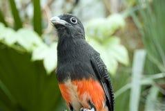 Himantopus, échasse noir-à ailes Photo stock