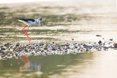 Himantopus himantopus. Black-necked stilt, himantopus himantopus in Guadiana River, Badajoz, Extremadura stock image
