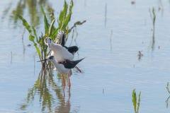 Himantopus de accouplement à ailes noir de rituels et de CourtshipHimantopus d'oiseau d'échasse photo stock