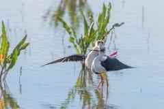 Himantopus de accouplement ? ailes noir de rituels et de CourtshipHimantopus d'oiseau d'?chasse photographie stock