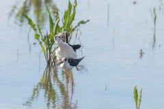 Himantopus de accouplement ? ailes noir de rituels et de CourtshipHimantopus d'oiseau d'?chasse photos stock