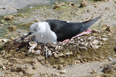 Black-winged Stilt bird hatching eggs. Closeup of Black-winged Stilt bird hatching eggs Royalty Free Stock Image