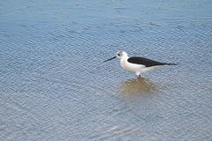 Black-winged Stilt bird Stock Images