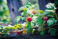 Himbeerbusch mit reifen Beeren Stockbilder