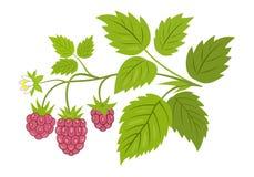 Himbeerniederlassung mit Beerenvektorillustration lizenzfreie abbildung