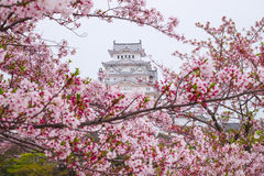 Himeji castle surrounded by cherry blossom. This is a UNESCO wor. Ld heritage site Royalty Free Stock Photo