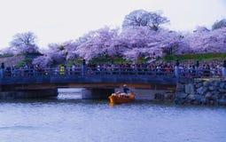 Himeji vit slott och körsbärsröd blomning royaltyfri foto