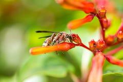 Himenópteros en la flor anaranjada Imagen de archivo libre de regalías