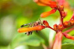 Himenópteros en la flor anaranjada Imágenes de archivo libres de regalías
