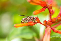 Himenópteros en la flor anaranjada Imagen de archivo