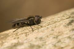 Himenópteros, quadrimaculata de Melangyna Fotografía de archivo libre de regalías