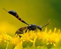 Himenópteros Signiphoridae de la avispa Imagen de archivo libre de regalías