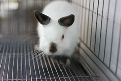 Himi Netherland Dwarf. A Himi Netherland Dwarf is look feared something in the steel cage Stock Images