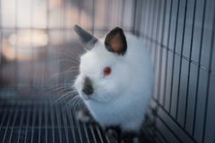 Himi Netherland Dwarf. A Himi Netherland Dwarf is look feared something in the steel cage Stock Photography
