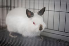 Himi Netherland Dwarf. A Himi Netherland Dwarf is look feared something in the steel cage Royalty Free Stock Image