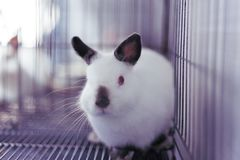 Himi Netherland Dwarf. A Himi Netherland Dwarf is look feared something in the steel cage Stock Photo
