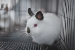 Himi Netherland Dwarf. A Himi Netherland Dwarf is look feared something in the steel cage Royalty Free Stock Images