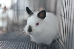 Himi Netherland Dwarf. A Himi Netherland Dwarf is look feared something in the steel cage Royalty Free Stock Photography
