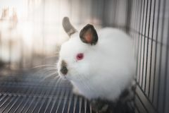 Himi Netherland Dwarf. A Himi Netherland Dwarf is look feared something in the steel cage Royalty Free Stock Photos