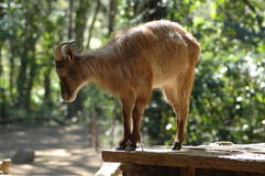 Himilayan Tahr Photos stock
