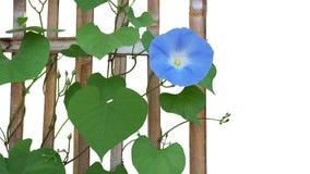 Himla- blå Ipomoea för blomma för morgonhärlighet som är tricolor med hjärta Arkivfoto