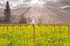 Himla- ljus tryckning till och med molnen på att blomma för för Napa Valley vingårdar och senap Royaltyfri Bild
