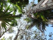 Himmel-Ansicht von tropischen Palmen und von australischen gebürtigen Bäumen Stockfoto