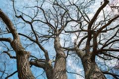 Himmel durch die Winterbaumaste Stockbilder