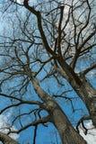 Himmel durch die Winterbaumaste Lizenzfreies Stockfoto