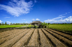 Himmel fängt Reis auf Stockbilder