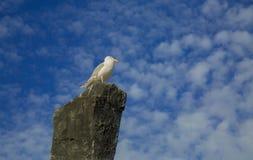 Himmel för stenen för Seagullfågelsammanträde fördunklar blå bakgrund Fotografering för Bildbyråer
