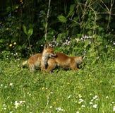 Himmel Fox CUB Lizenzfreies Stockbild