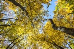 Himmel i guld- träd krönar, en sikt underifrån arkivbilder