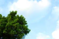 Himmel med trädbladet på vänstert hörn från övre sidobakgrund Arkivfoto