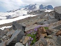 Himmel-Pilotblumen auf Felsen Stockbilder