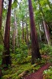 Himmel till redwoodträd för handfat för havsslinga stora Royaltyfri Fotografi