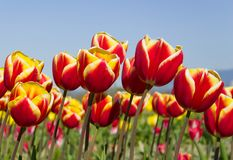 Himmel-Tulpen Stockbild