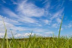Himmelgräs Arkivbild