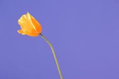 Himmelmohnblume 2 Lizenzfreies Stockbild