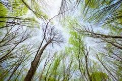 Himmelsikt i den lövfällande vårskogen Royaltyfria Foton