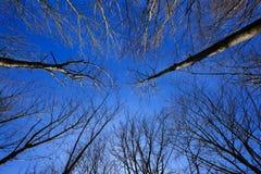 himmelsikt till och med kal-förgrena sig träd Arkivbild