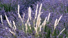 Himmlischer Lavendel, Provence Lizenzfreies Stockfoto