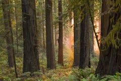 Himmlisches Glühen im alten Rotholzwald Stockfoto