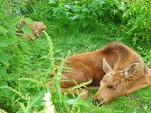 Hind with calf-1. This image was created in poland.it was made in the masuren in a national park.it shows a hind with her calf Stock Image
