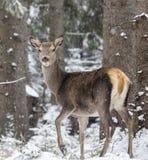 Hind. Door elaphus certs nature deer jervis wild snow hind Royalty Free Stock Photo