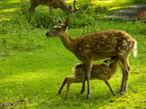 Hind feeding fawn. Sika deer feeding fawn (Cervus nippon Royalty Free Stock Images
